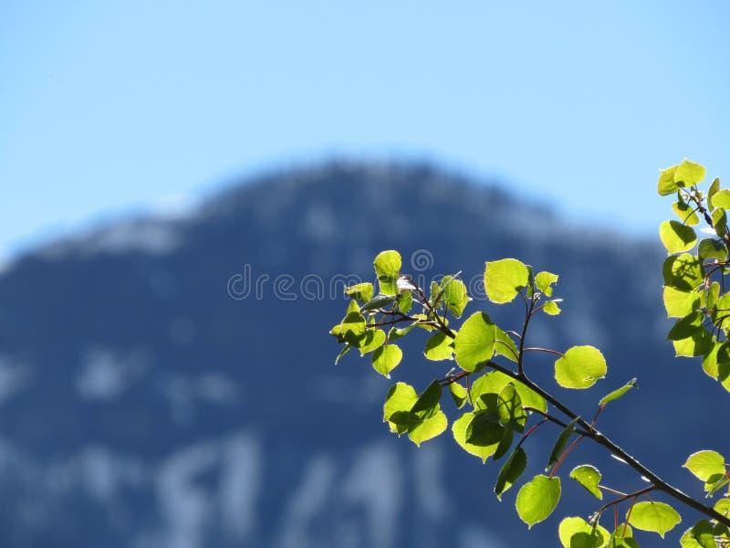Φύλλα της Aspen στοκ εικόνες