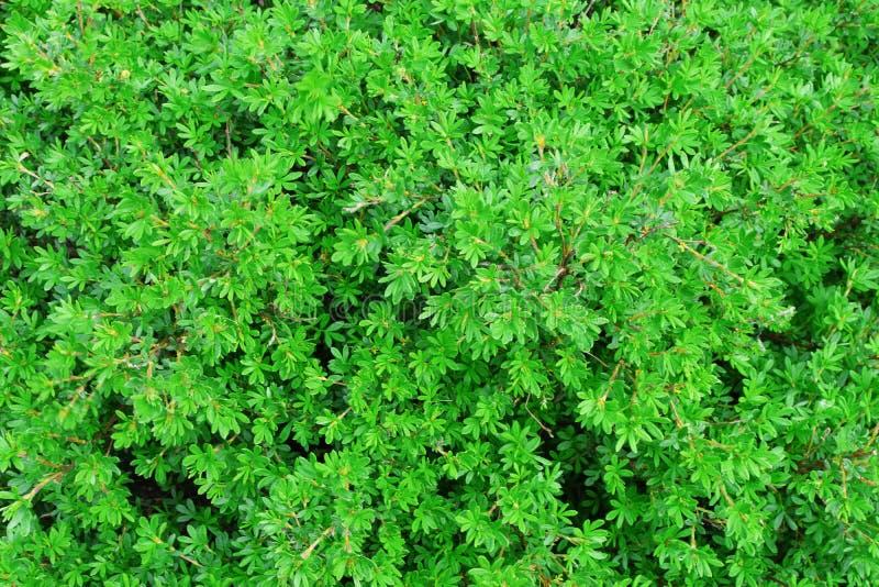 Φύλλα του θαμνοειδούς cinquefoil ή του fruticosa Potentilla στοκ εικόνες με δικαίωμα ελεύθερης χρήσης