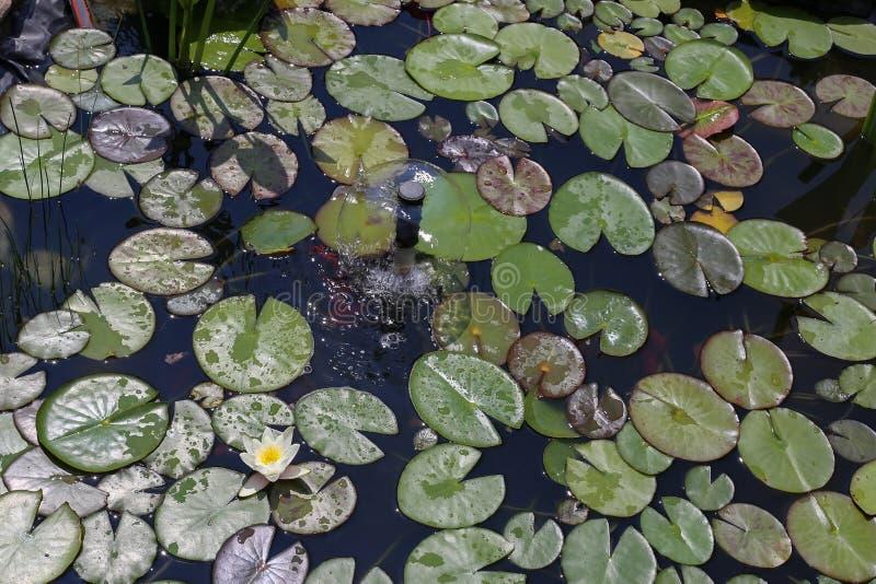 Φύλλα του κρίνου νερού στοκ φωτογραφίες με δικαίωμα ελεύθερης χρήσης