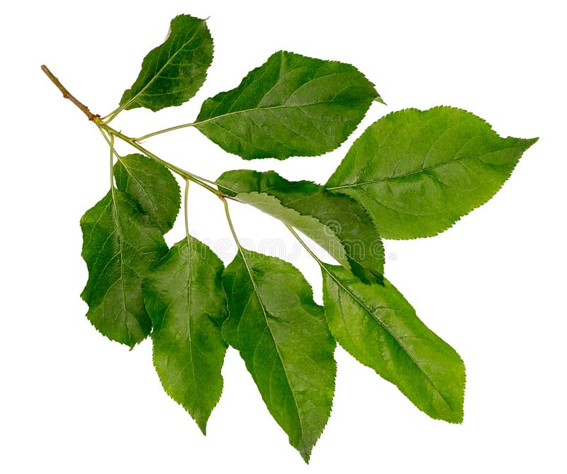 Φύλλα του μήλου Κλάδος δέντρων της Apple στοκ εικόνα με δικαίωμα ελεύθερης χρήσης