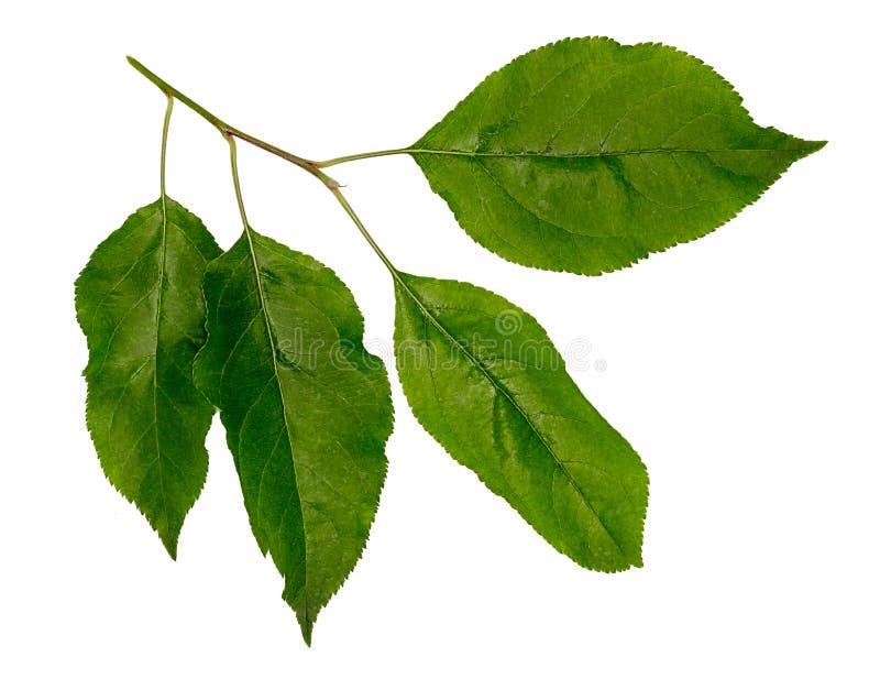 Φύλλα του μήλου Κλάδος δέντρων της Apple στοκ φωτογραφία με δικαίωμα ελεύθερης χρήσης
