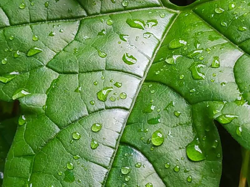 Φύλλα του μωρού jackfruit στοκ εικόνες