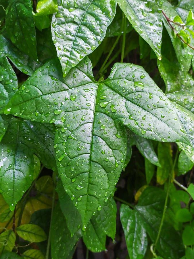 Φύλλα του μωρού jackfruit στοκ φωτογραφία με δικαίωμα ελεύθερης χρήσης