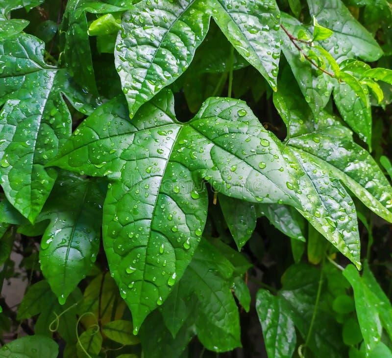 Φύλλα του μωρού jackfruit στοκ φωτογραφία