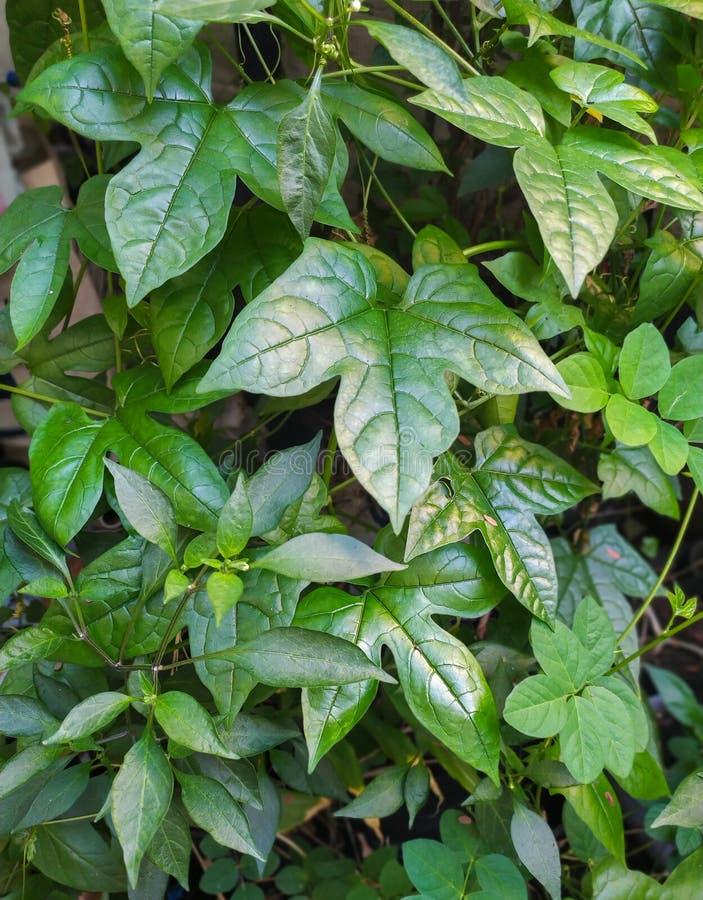 Φύλλα του μωρού jackfruit στοκ εικόνα με δικαίωμα ελεύθερης χρήσης