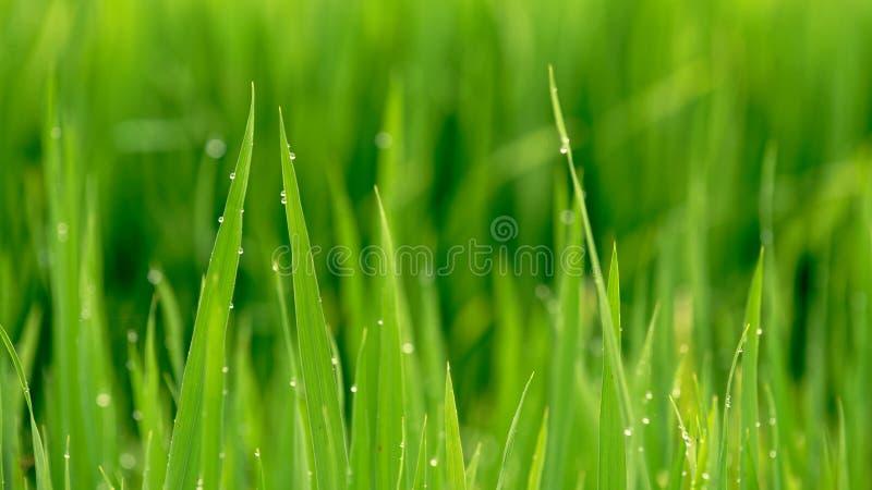 Φύλλα του ρυζιού με τη δροσιά στην κοιλάδα Sa PA στοκ εικόνα με δικαίωμα ελεύθερης χρήσης