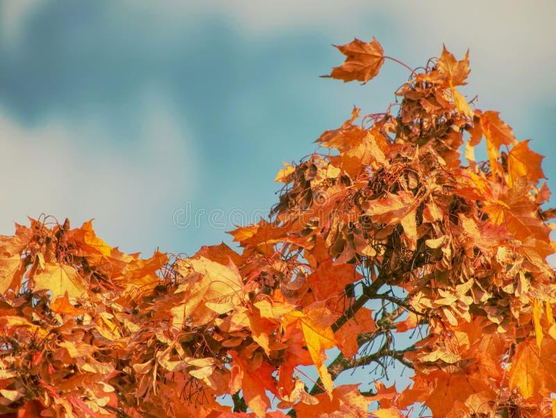 Φύλλα του φθινοπωρινού σφενδάμνου Σκούρο κόκκινο πουπουλένιο acer, ανοιχτό μπλε στοκ φωτογραφία με δικαίωμα ελεύθερης χρήσης