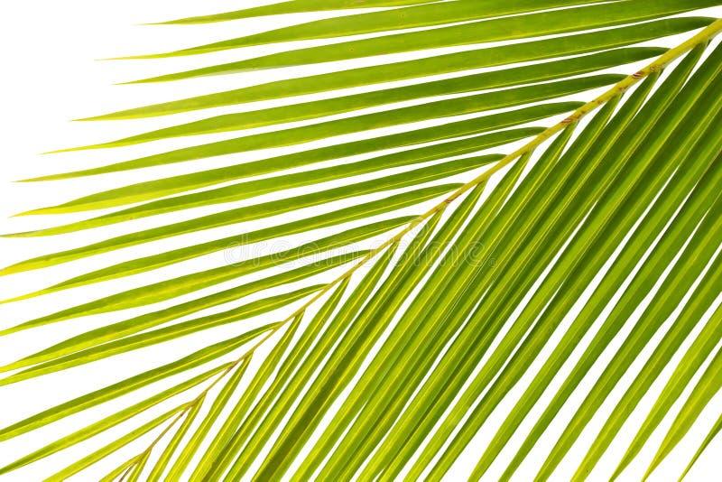 φύλλα του φοίνικα στοκ φωτογραφία με δικαίωμα ελεύθερης χρήσης