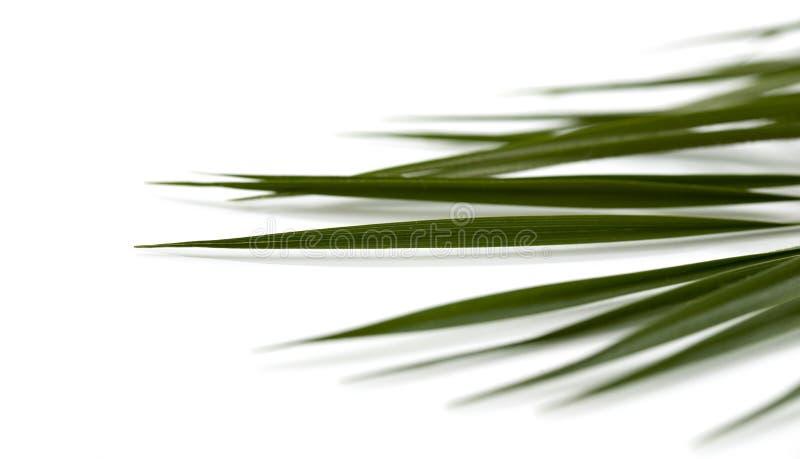 Φύλλα του φοίνικα στοκ εικόνα με δικαίωμα ελεύθερης χρήσης