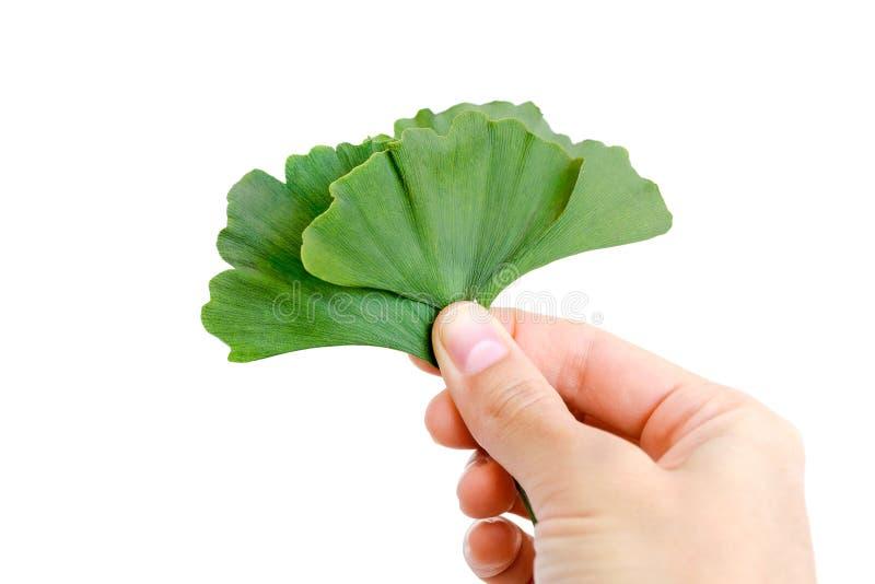 Φύλλα του biloba ginkgo υπό εξέταση, που απομονώνονται στοκ φωτογραφία με δικαίωμα ελεύθερης χρήσης
