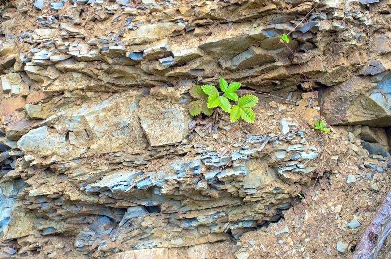Φύλλα του Blackberry στους ιζηματώδεις βράχους στοκ εικόνα με δικαίωμα ελεύθερης χρήσης
