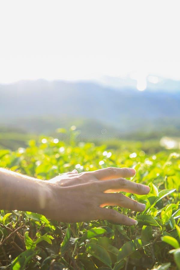 Φύλλα τσαγιού αφής χεριών ατόμων στη φυτεία τσαγιού το πρωί στοκ φωτογραφία