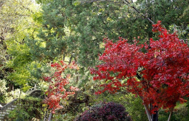 Φύλλα των δέντρων στα χρώματα φθινοπώρου στο πάρκο άνοιξης νεφριτών σε Lijiang, Yunnan, Κίνα στοκ εικόνες
