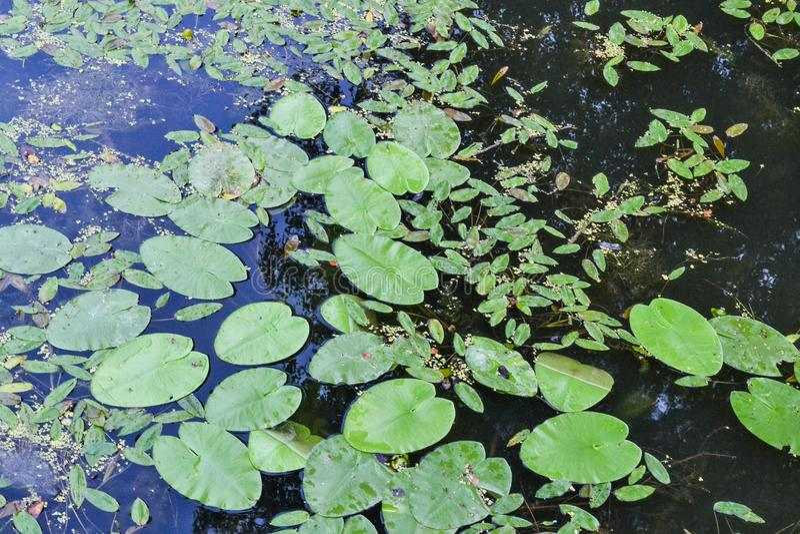 Φύλλα των κρίνων νερού στην κινηματογράφηση σε πρώτο πλάνο νερού στοκ εικόνες με δικαίωμα ελεύθερης χρήσης