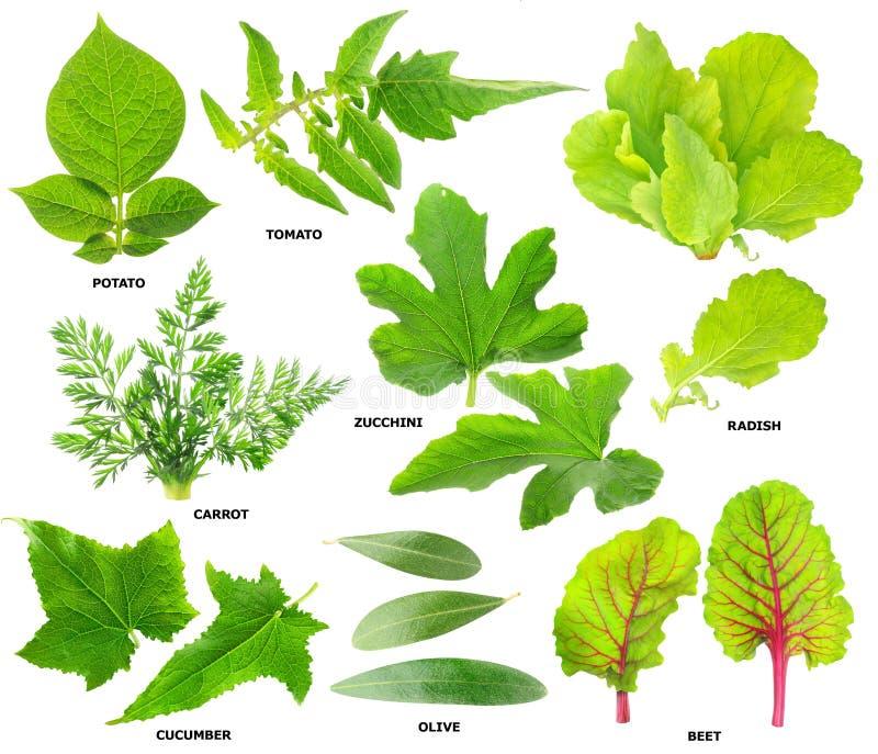 Φύλλα των φυτικών φυτών στοκ φωτογραφίες