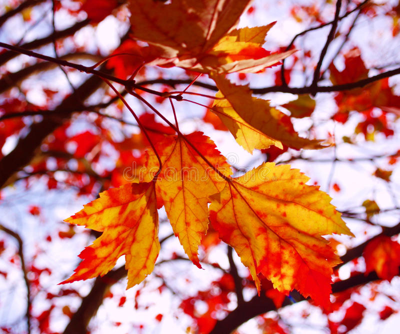Download φύλλα φθινοπώρου στοκ εικόνες. εικόνα από φθινοπώρου - 13183192