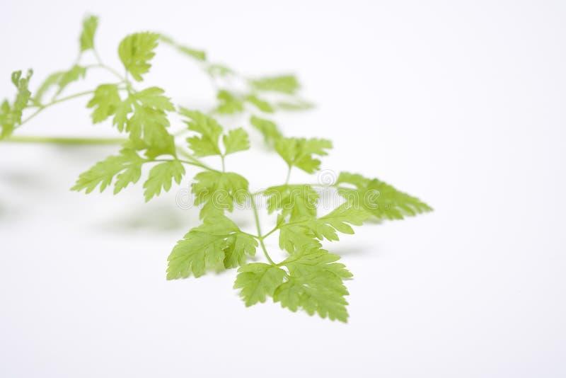 φύλλα φραγκομαϊντανού cerefolium anthri στοκ εικόνες με δικαίωμα ελεύθερης χρήσης