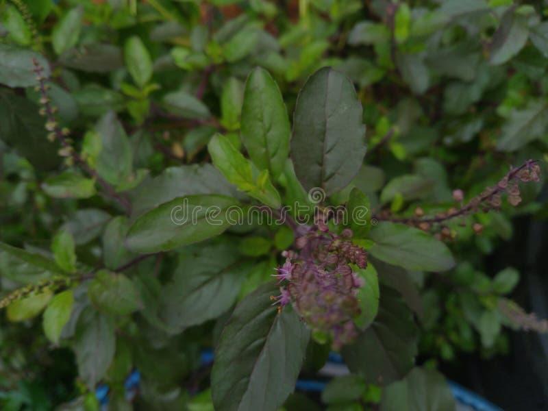 Φύλλα φυτών tulsi/αγίου βασιλικού στοκ φωτογραφία με δικαίωμα ελεύθερης χρήσης