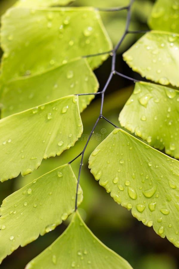 Φύλλα Adiantum που καλύπτονται με τις πτώσεις νερού, εκλεκτική εστίαση στοκ φωτογραφία