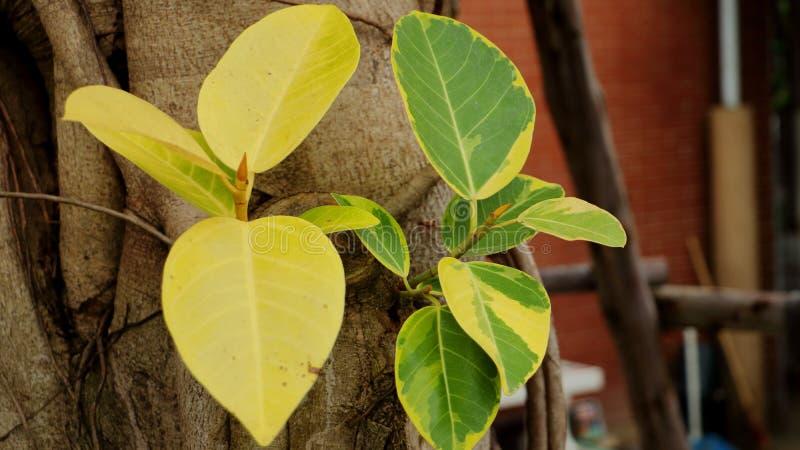 Φύλλα Banyan, κίτρινος και πράσινος στοκ φωτογραφία με δικαίωμα ελεύθερης χρήσης