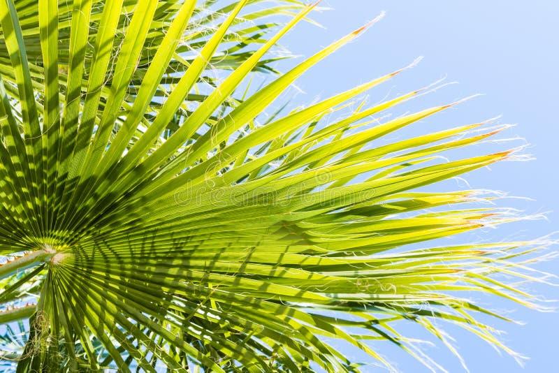 Φύλλα filifera Washingtonia φοινίκων ανεμιστήρων στοκ φωτογραφία με δικαίωμα ελεύθερης χρήσης