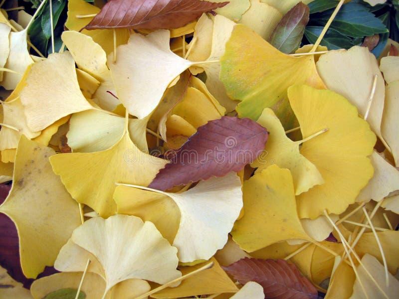 Download φύλλα ginko στοκ εικόνες. εικόνα από φύλλο, σωρός, δέντρο - 384398