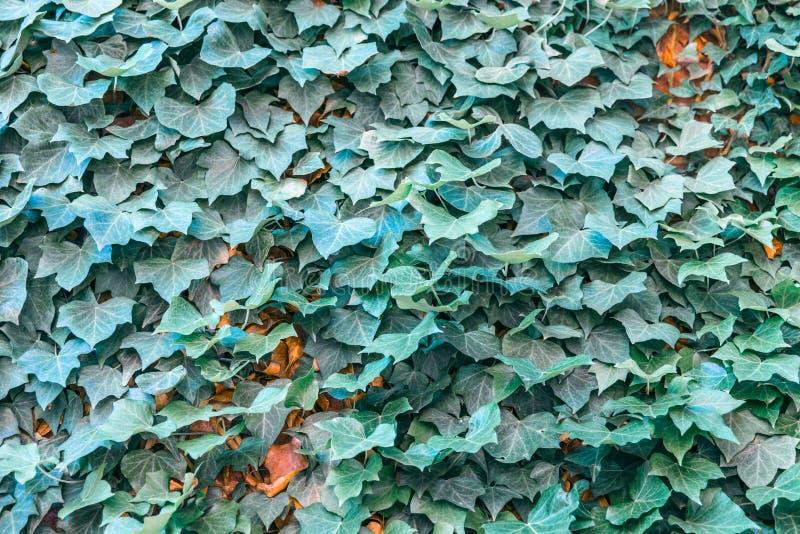 Φύλλα Kudzu στην εστίαση στοκ εικόνες