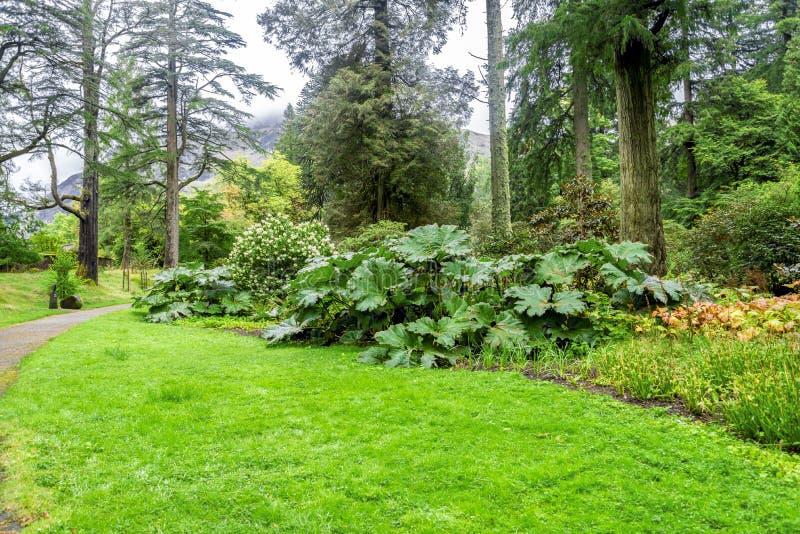 Φύλλα Manicata Gunnera σε ένα από το περπάτημα των πορειών στο βοτανικό κήπο Benmore, Σκωτία στοκ εικόνες