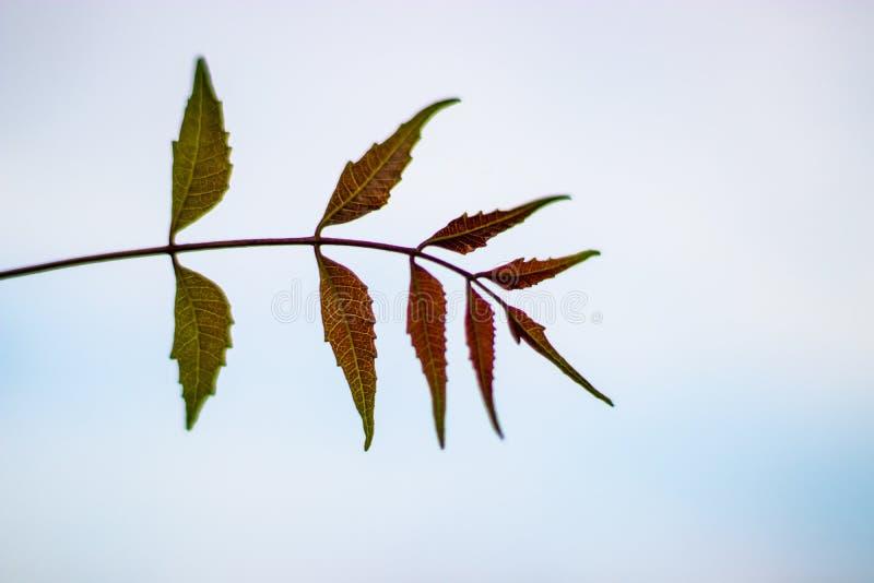 Φύλλα Neem με το άσπρο υπόβαθρο στοκ φωτογραφία με δικαίωμα ελεύθερης χρήσης
