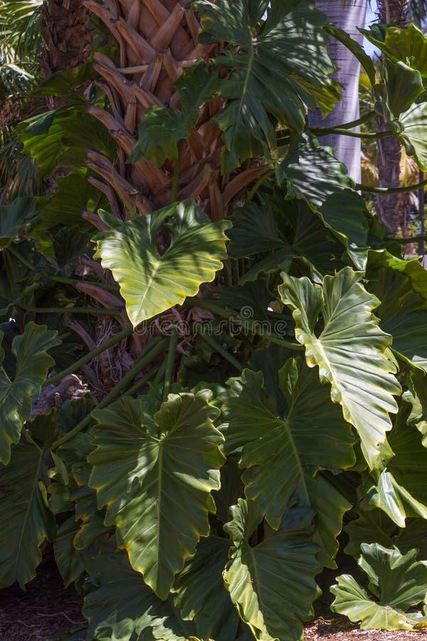 Φύλλα odora Alocasia στοκ φωτογραφίες με δικαίωμα ελεύθερης χρήσης