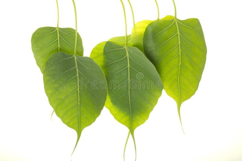 Φύλλα Peepal στοκ φωτογραφίες