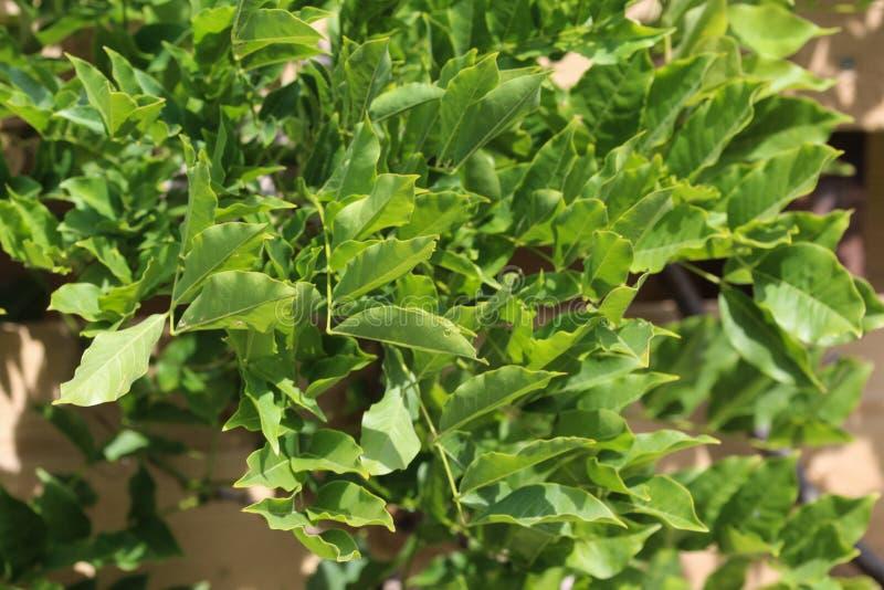 Φύλλα sinensis Wisteria (κινεζικό wisteria) στον κήπο στοκ εικόνα