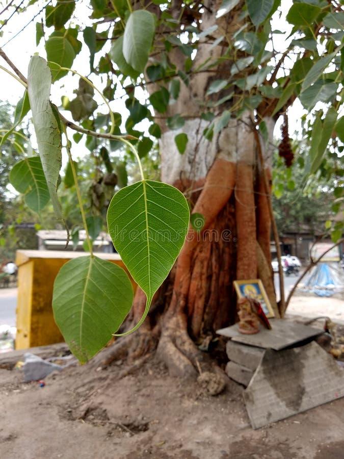 Φύλλο δέντρων Banyan στοκ φωτογραφίες