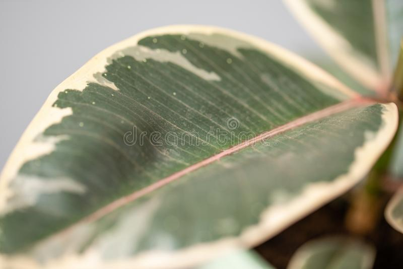 Φύλλο κινηματογραφήσεων σε πρώτο πλάνο των φυτών Ficus r στοκ φωτογραφία με δικαίωμα ελεύθερης χρήσης