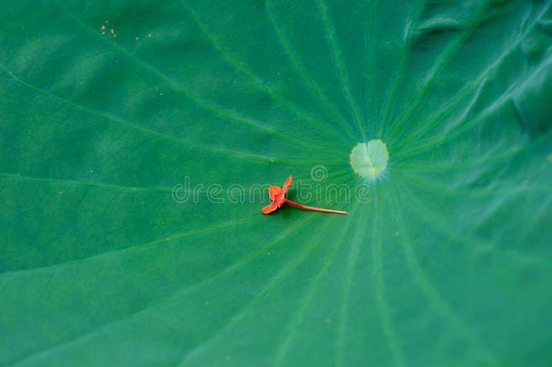 Φύλλο κρίνων νερού με ένα κόκκινο μικρό λουλούδι που βάζει σε το στοκ φωτογραφίες με δικαίωμα ελεύθερης χρήσης
