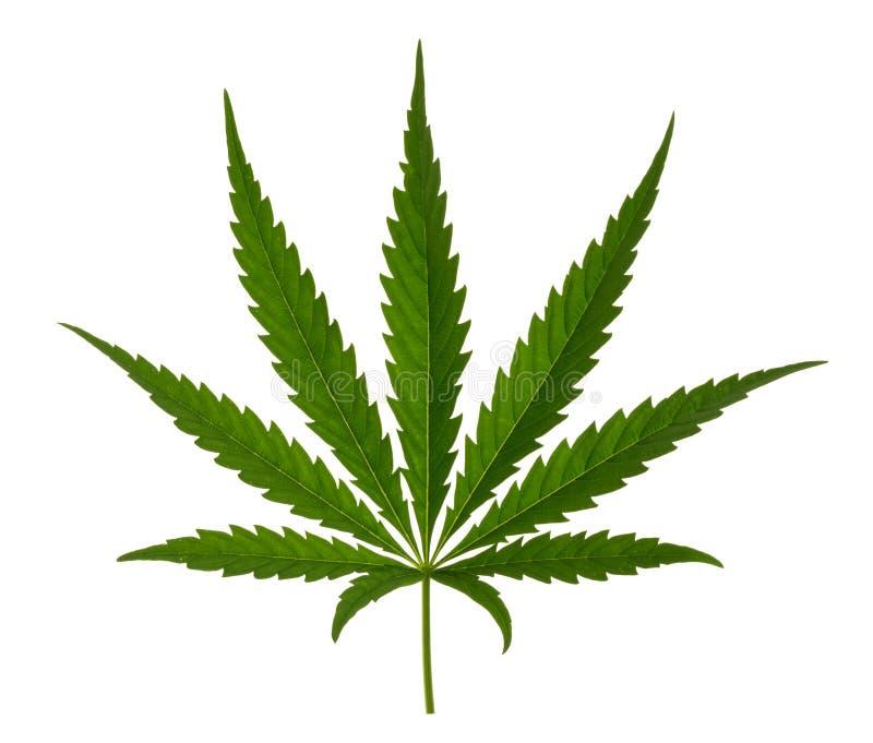 Φύλλο μαριχουάνα που απομονώνεται στο λευκό χωρίς σκιά στοκ εικόνες