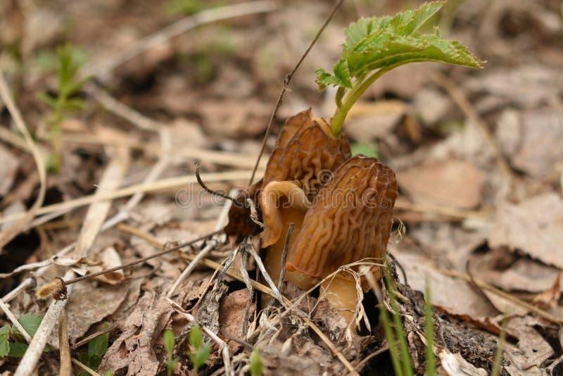 Φύλλο που αυξάνεται πράσινο μέσω του μύκητα στοκ φωτογραφία