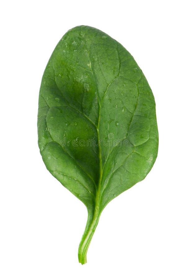 Φύλλο σπανακιού στοκ εικόνα με δικαίωμα ελεύθερης χρήσης