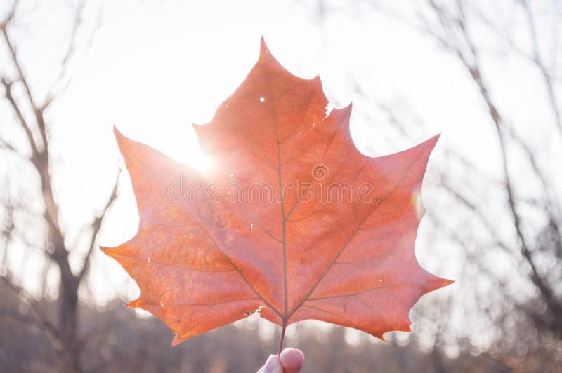 Φύλλο σφενδάμου ηλιοφάνειας πτώσης στοκ εικόνα με δικαίωμα ελεύθερης χρήσης