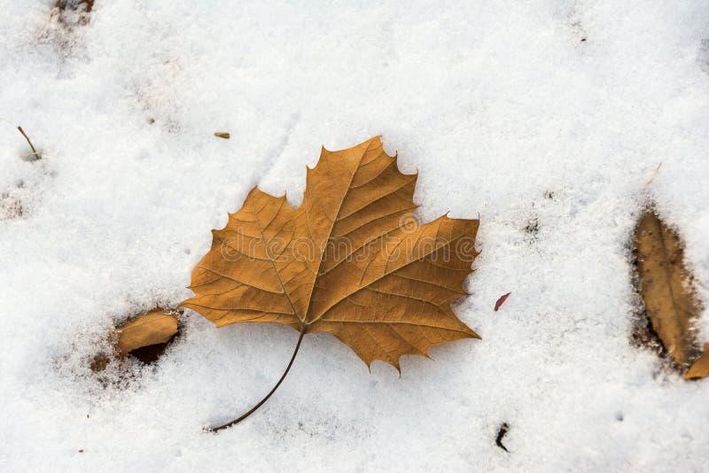 Φύλλο σφενδάμου και χιόνι φθινοπώρου το χειμώνα στοκ φωτογραφία με δικαίωμα ελεύθερης χρήσης
