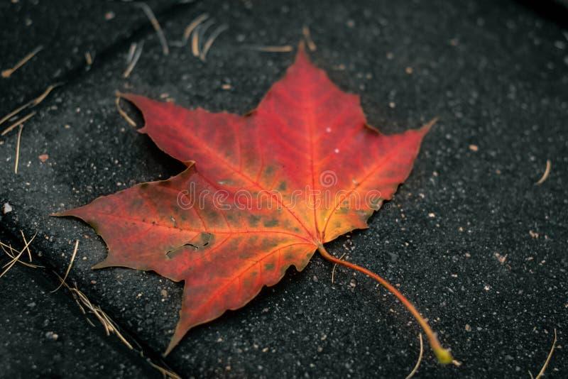 Φύλλο σφενδάμου στο έδαφος - φωτογραφία του νεφελώδους φθινοπώρου στοκ εικόνες