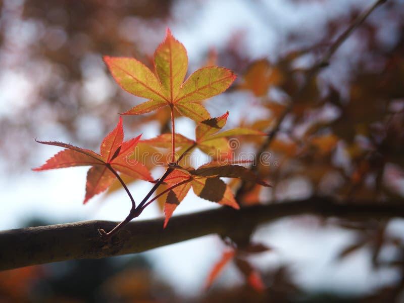Φύλλο σφενδάμου το φθινόπωρο στοκ φωτογραφίες με δικαίωμα ελεύθερης χρήσης