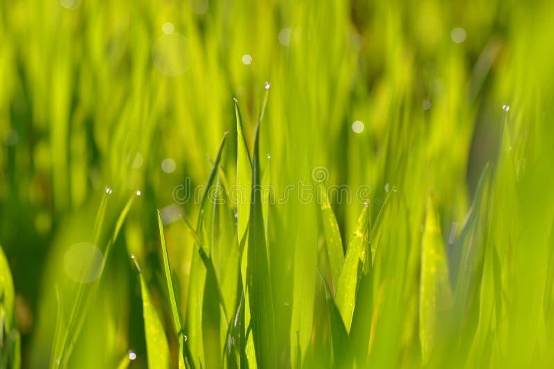 Φύλλο του πράσινου σίτου στοκ φωτογραφίες