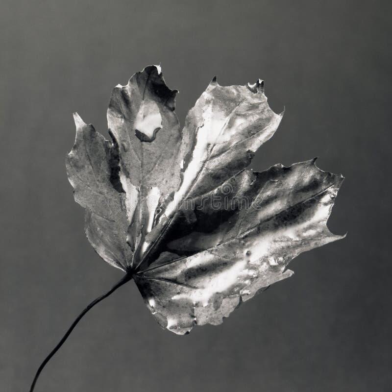 φύλλο υγρό στοκ φωτογραφία με δικαίωμα ελεύθερης χρήσης