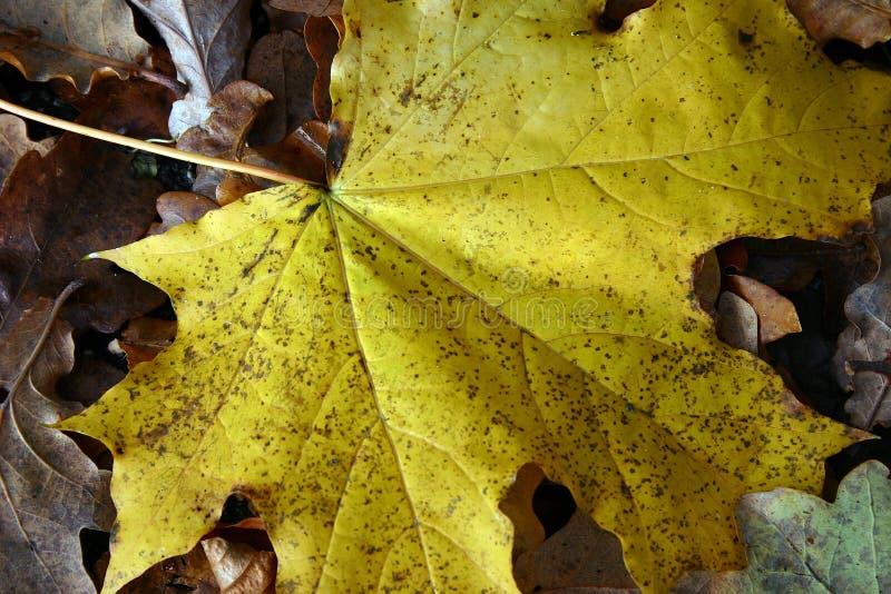 Φύλλο φθινοπώρου στο έδαφος στοκ εικόνα με δικαίωμα ελεύθερης χρήσης