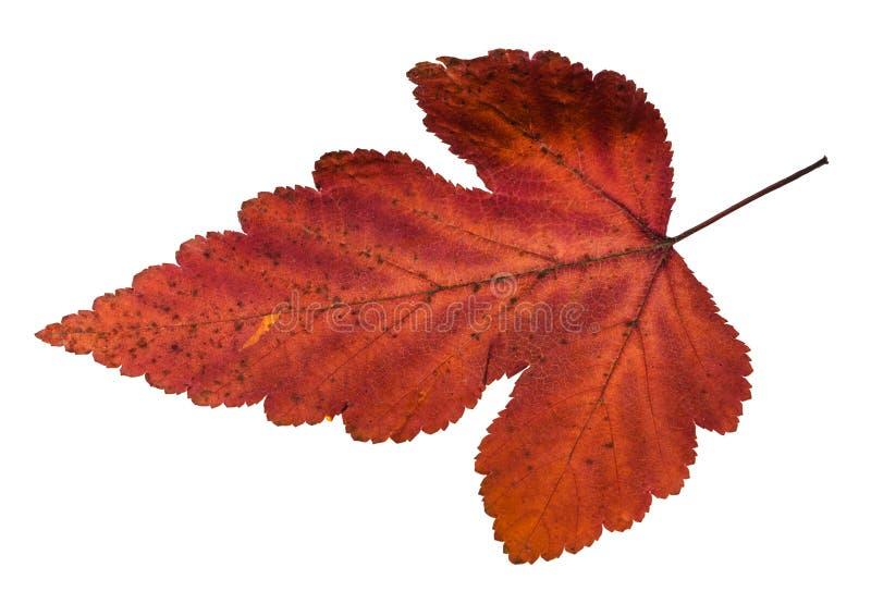 φύλλο φθινοπώρου του δέντρου viburnum που απομονώνεται στο λευκό στοκ εικόνα