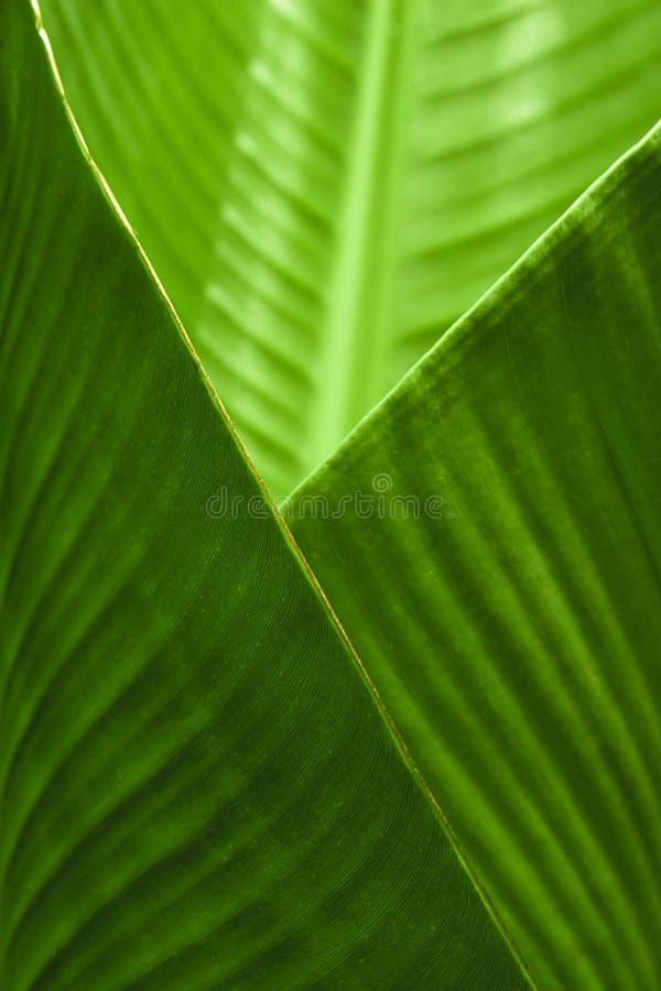 φύλλο φλυτζανιών μπανανών στοκ φωτογραφία με δικαίωμα ελεύθερης χρήσης