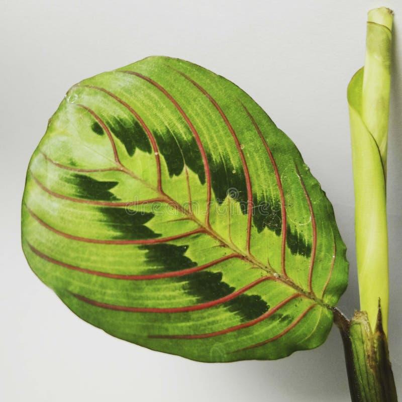 Φύλλο φυτών προσευχής στοκ εικόνα