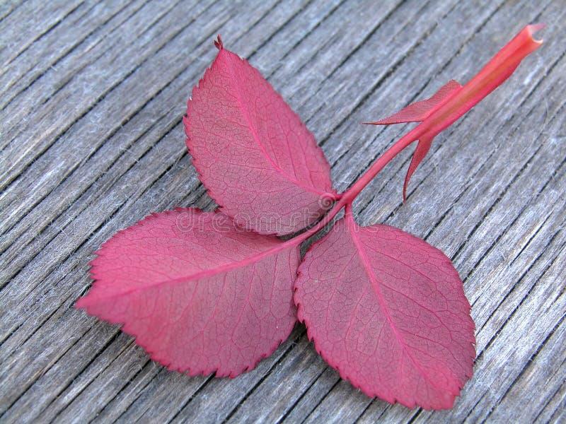 Download φύλλο στοκ εικόνες. εικόνα από ροζ, κάπρων, φύλλο, φύλλα - 120030