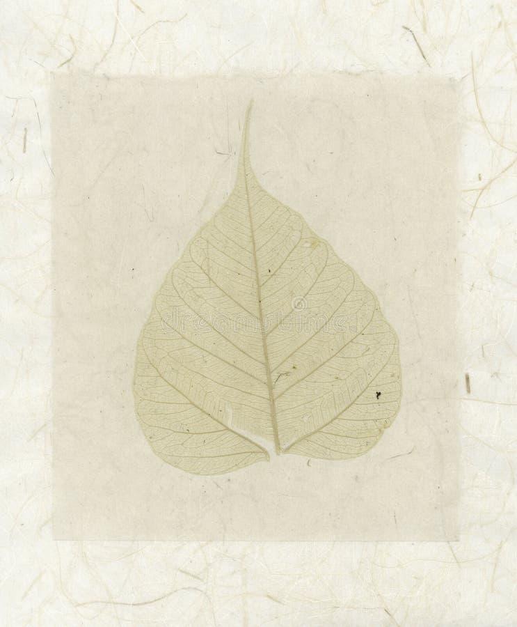 φύλλο bodhi στοκ φωτογραφία με δικαίωμα ελεύθερης χρήσης